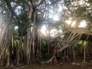 Giant tree on Eleuthera