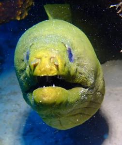 44 Green moray up close