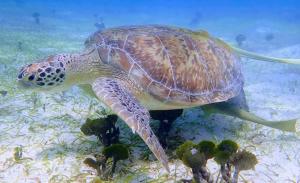 06 Turtle close up, Little Lameshur Bay, St. John, USVI